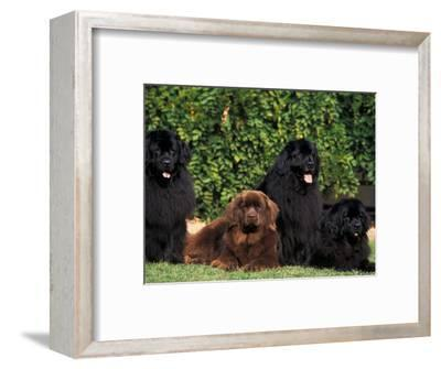 Domestic Dogs, Four Newfoundland Dogs Resting on Grass