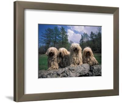 Domestic Dogs, Four Pulik / Hungarian Water Dogs Sitting Together on a Rock