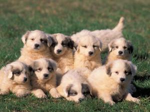 Domestic Dogs, Group of Eight Pyrenean Mountain Dog Puppies by Adriano Bacchella