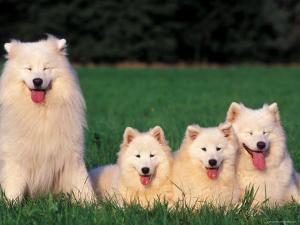 Domestic Dogs, Samoyed Family Panting and Resting on Grass by Adriano Bacchella