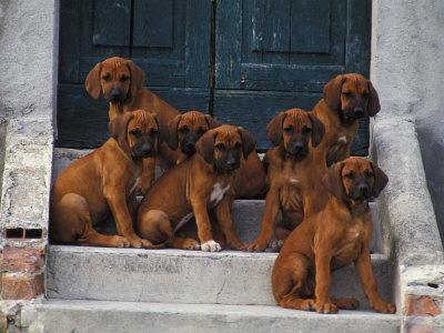 Domestic Dogs, Seven Rhodesian Ridgeback Puppies Sitting on Steps