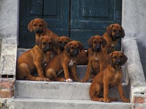 Domestic Dogs, Seven Rhodesian Ridgeback Puppies Sitting on Steps by Adriano Bacchella