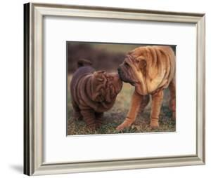 Domestic Dogs, Shar Pei Puppy and Parent Touching Noses by Adriano Bacchella
