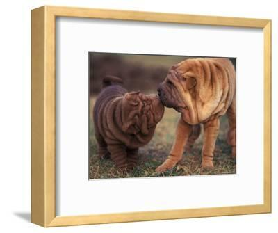 Domestic Dogs, Shar Pei Puppy and Parent Touching Noses
