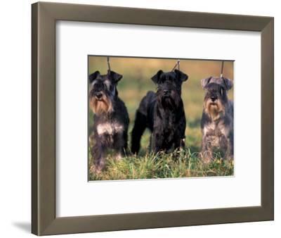 Domestic Dogs, Three Miniature Schnauzers on Leads