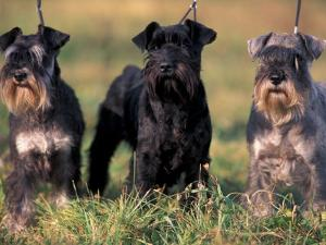 Domestic Dogs, Three Miniature Schnauzers on Leads by Adriano Bacchella