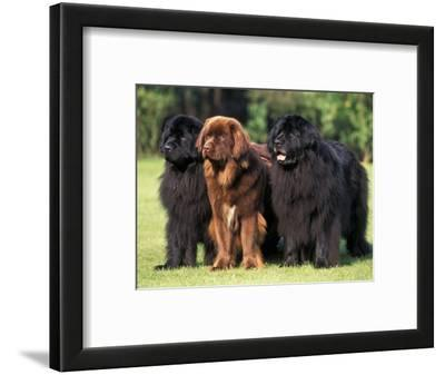 Domestic Dogs, Three Newfoundland Dogs Standing Together