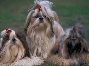 Domestic Dogs, Three Shih Tzus Sitting or Lying on Grass with Their Hair Tied Up by Adriano Bacchella