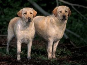 Domestic Dogs, Two Labrador Retrievers by Adriano Bacchella