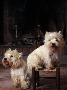 Domestic Dogs, Two West Highland Terriers / Westies, One Sitting on a Chair by Adriano Bacchella