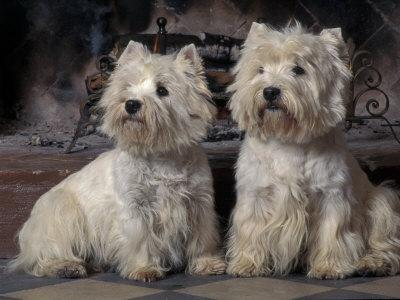 Domestic Dogs, Two West Highland Terriers / Westies Sitting Together