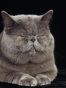 Exotic Grey Cat, Sleeping by Adriano Bacchella