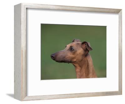 Fawn Whippet Profile