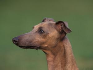Fawn Whippet Profile by Adriano Bacchella