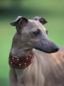 Fawn Whippet Wearing a Collar, Lookig Away by Adriano Bacchella