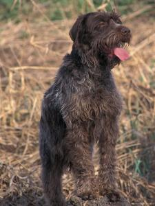 Korthal's Griffon / Wirehaired Pointing Griffon Portrait by Adriano Bacchella