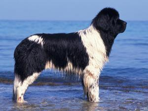 Landseer / Newfoundland Standing at the Beach by Adriano Bacchella