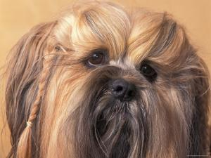 Lhasa Apso Face Portrait with Hair Plaited by Adriano Bacchella