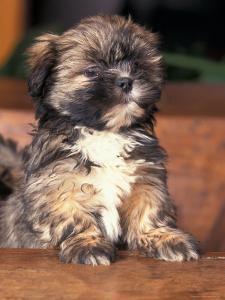 Lhasa Apso Puppy Portrait by Adriano Bacchella