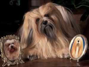 Lhasa Apso with Framed Pictures of Other Lhasa Apsos by Adriano Bacchella