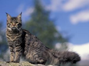 Looking Up at Maine Coon Cat by Adriano Bacchella
