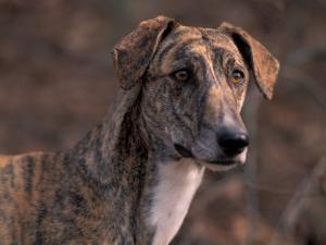 Magyar Agar / Hungarian Greyhound by Adriano Bacchella