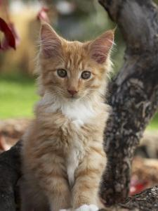 Maine Coon Red Tabby Cat Kitten, Three-Months by Adriano Bacchella