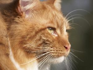 Maine Coon Red Tabby Cat, Portrait by Adriano Bacchella