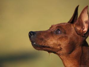 Miniature Pinscher Looking Up by Adriano Bacchella