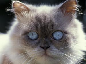 Persian Cream Cat, Close Up of Face and Blue Eyes by Adriano Bacchella