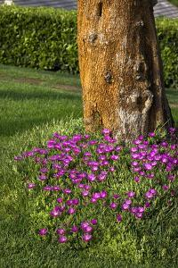 Pink flowers around a tree by Adriano Bacchella