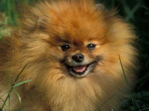 Pomeranian Portrait by Adriano Bacchella