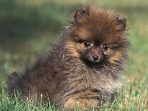 Pomeranian Puppy on Grass by Adriano Bacchella