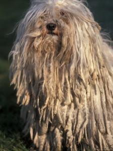 Puli / Hungarian Water Dog Portrait by Adriano Bacchella