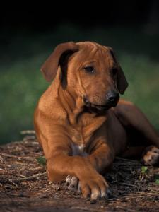 Rhodesian Ridgeback Puppy with Front Paws Crossed by Adriano Bacchella