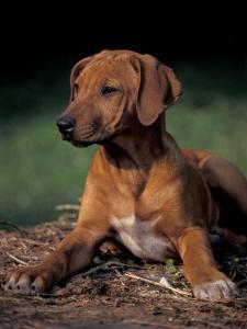 Rhodesian Ridgeback Puppy by Adriano Bacchella