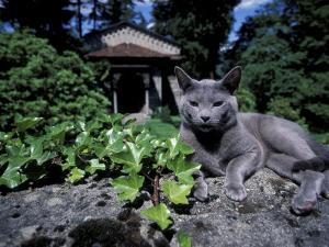 Russian Blue Cat Sunning on Stone Wall in Garden, Italy by Adriano Bacchella