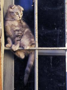 Scottish Fold Cat Balanced on Window Bar, Italy by Adriano Bacchella