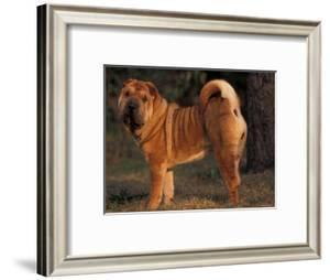 Shar Pei Portrait Showing the Curled Tail and Wrinkles on the Back by Adriano Bacchella