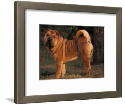 Shar Pei Portrait Showing the Curled Tail and Wrinkles on the Back