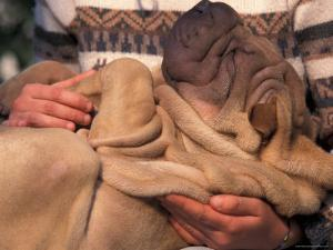 Shar Pei Puppy Lying on Its Back and Being Cuddled, Showing Excess Skin by Adriano Bacchella