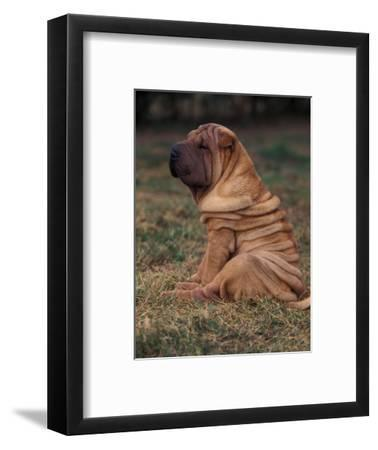 Shar Pei Puppy Sitting Down with Wrinkles on Back Clearly Visible
