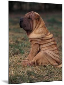 Shar Pei Puppy Sitting Down with Wrinkles on Back Clearly Visible by Adriano Bacchella