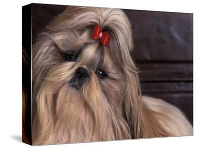 Shih Tzu Portrait with Hair Tied Up, Head Tilted to One Side