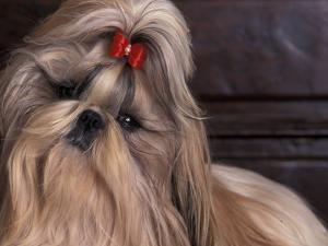 Shih Tzu Portrait with Hair Tied Up, Head Tilted to One Side by Adriano Bacchella
