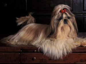 Shih Tzu Portrait with Hair Tied Up, Lying on Drawers by Adriano Bacchella
