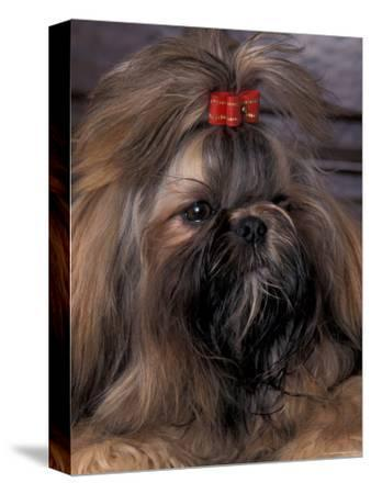 Shih Tzu Portrait with Hair Tied Up
