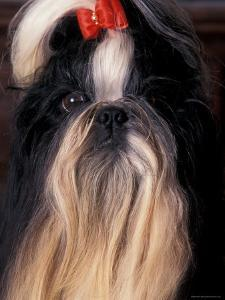 Shih Tzu Portrait with Hair Tied Up by Adriano Bacchella