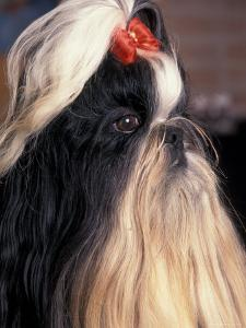 Shih Tzu Profile with Hair Tied Up by Adriano Bacchella