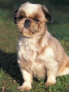 Shih Tzu Puppy Sitting on Grass by Adriano Bacchella
